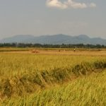 Rice Paddies Near Harvest