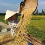 Local Rice Panning At Harvest Time In Hoi An