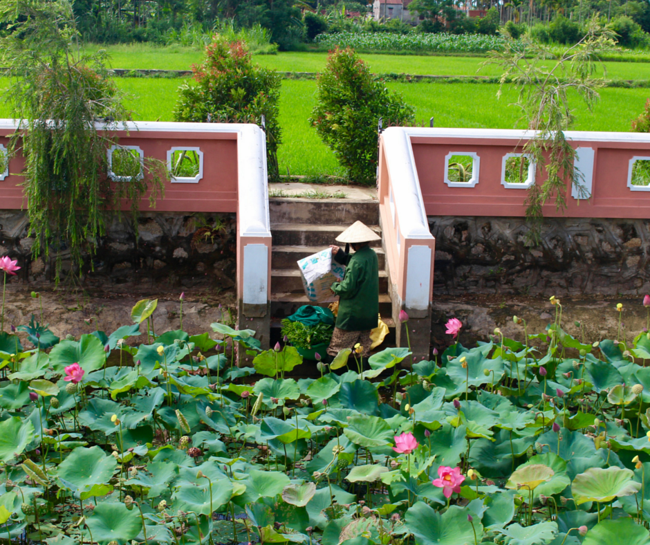 See the Magical Lotus Flower Garden on Our Hoi An Day Tour.