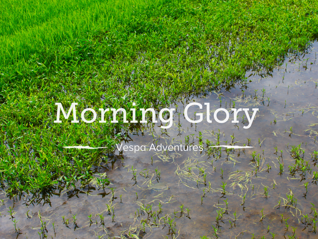 See how morning glory grows in Vietnam!