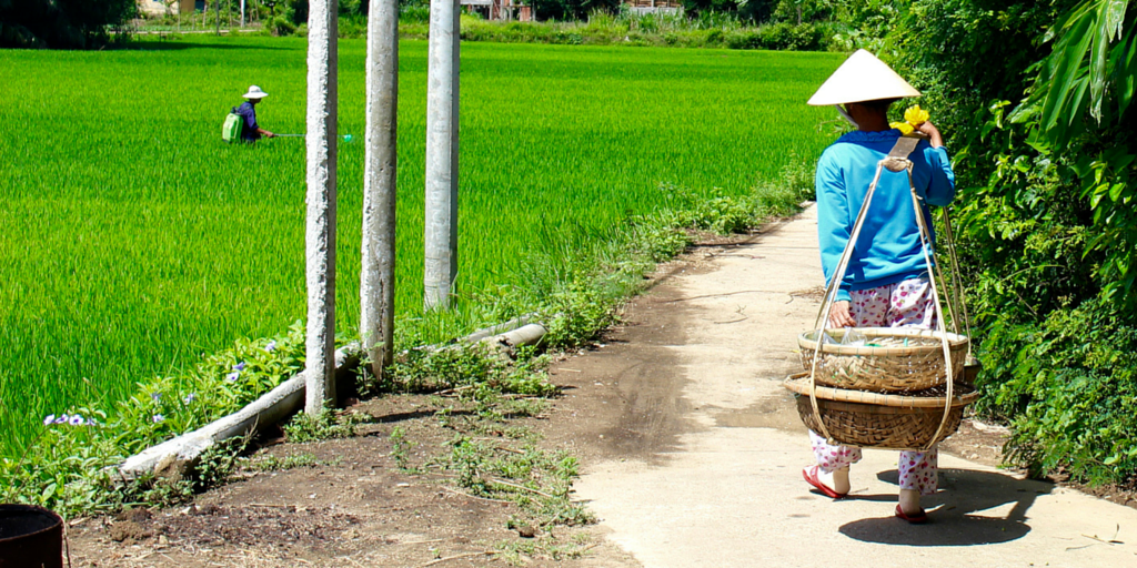 Woman walking along Hoi An's rice field.