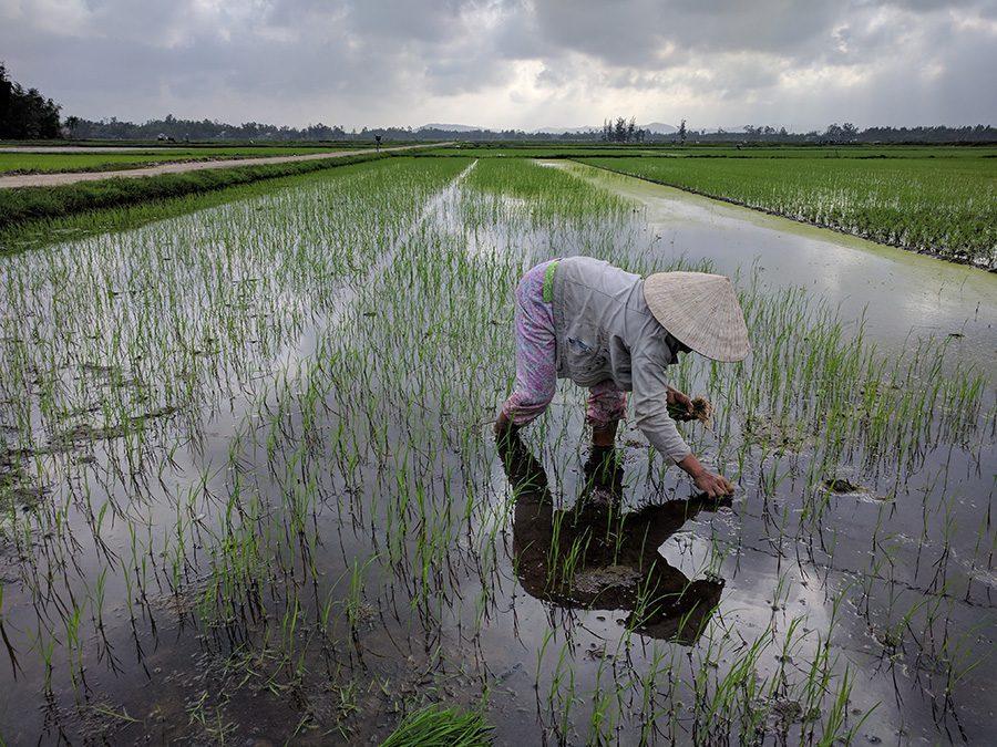 Lady Planting Rice