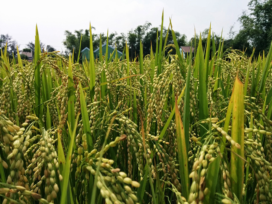 Rice Crop Close Up